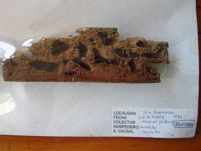Patologías de la madera - Termitas